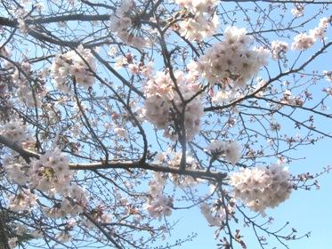 桜リサイズ.jpg